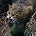 Wildcat snarl by w841rd