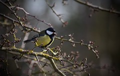 Holderthis little one was singing beautifully the other morning.. Willow Tree Fen 💗