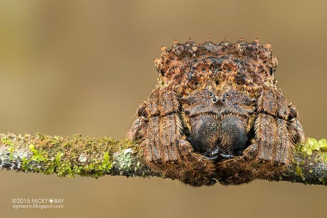 Big-headed bark spider (Caerostris sp.) - DSC_5046