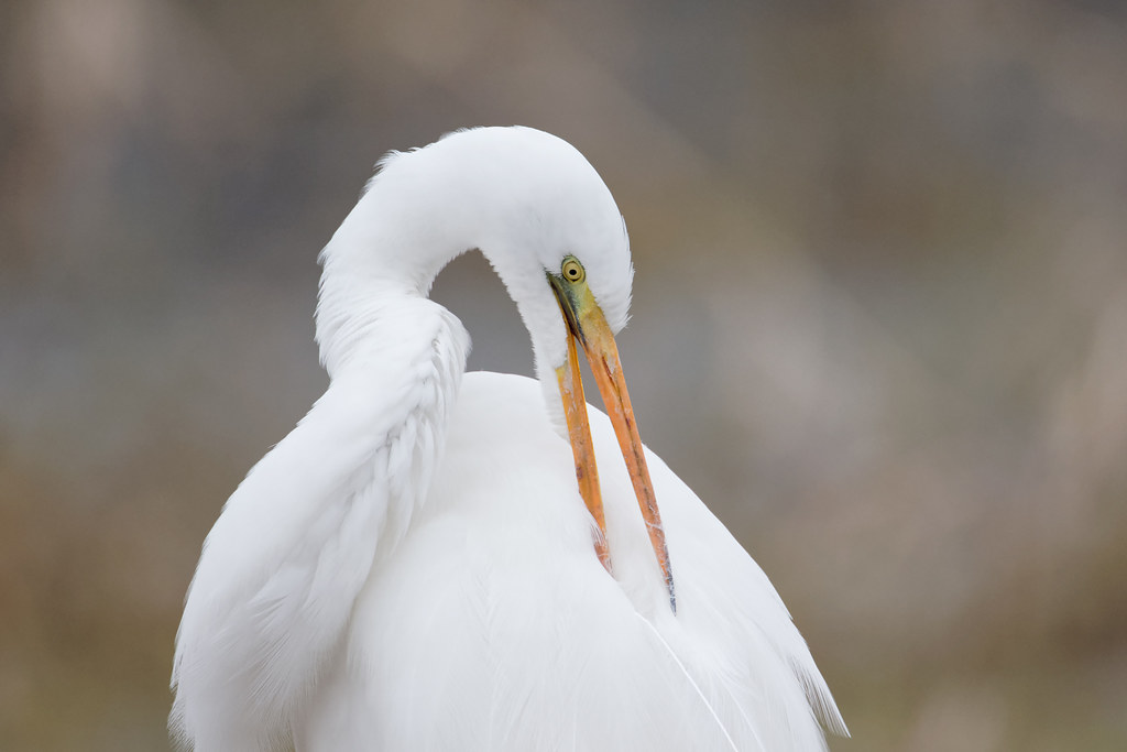 A great egret uses its long beak to preen the feathers on its back