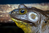 Bullfrog by Photography And Artwork of Melissa McCarthy