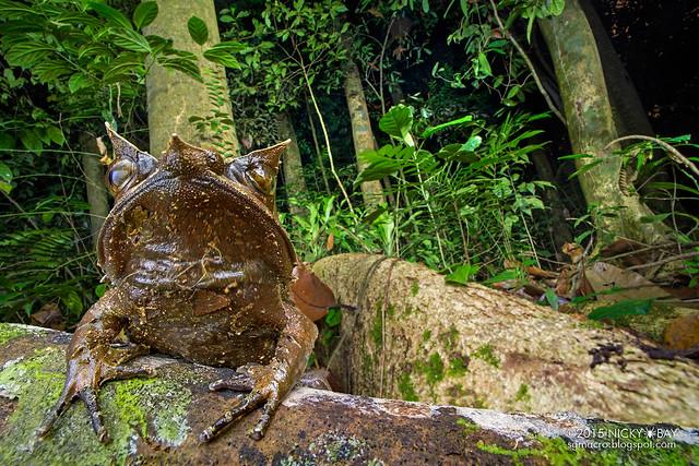 Malayan horned frog (Megophrys nasuta) - DSC_6123