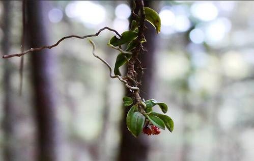 台灣分布海拔最高的附生蘭是何氏松蘭,在東北部山區可分布到海拔2500公尺左右。圖片攝影:徐嘉君。