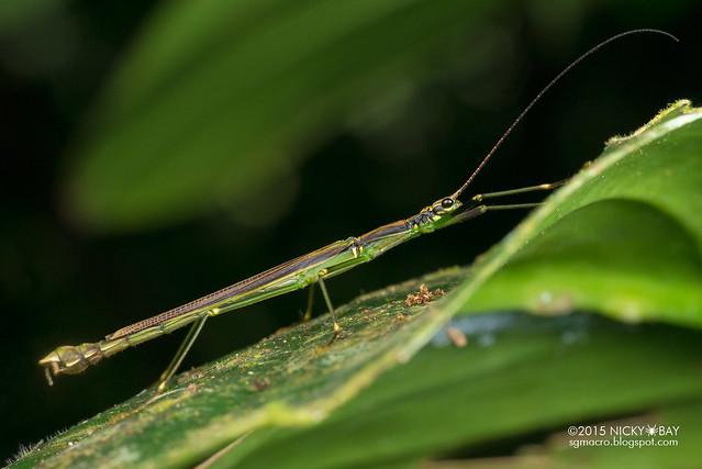 Stick insect (Phasmatodea) - DSC_5399