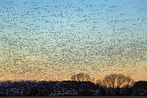 snowgeese delaware de bird flight sky sunset