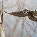 Northern Hawk Owl Hunting for a Vole. by Raymond J Barlow