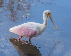 wading Roseate Spoonbill