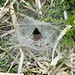 Small photo of Labyrinth Spider and Web (Agelena labyrinthica)
