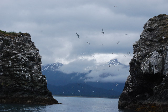 Gull Rock with Black-legged Kittiwakes & the Kenai Mountains