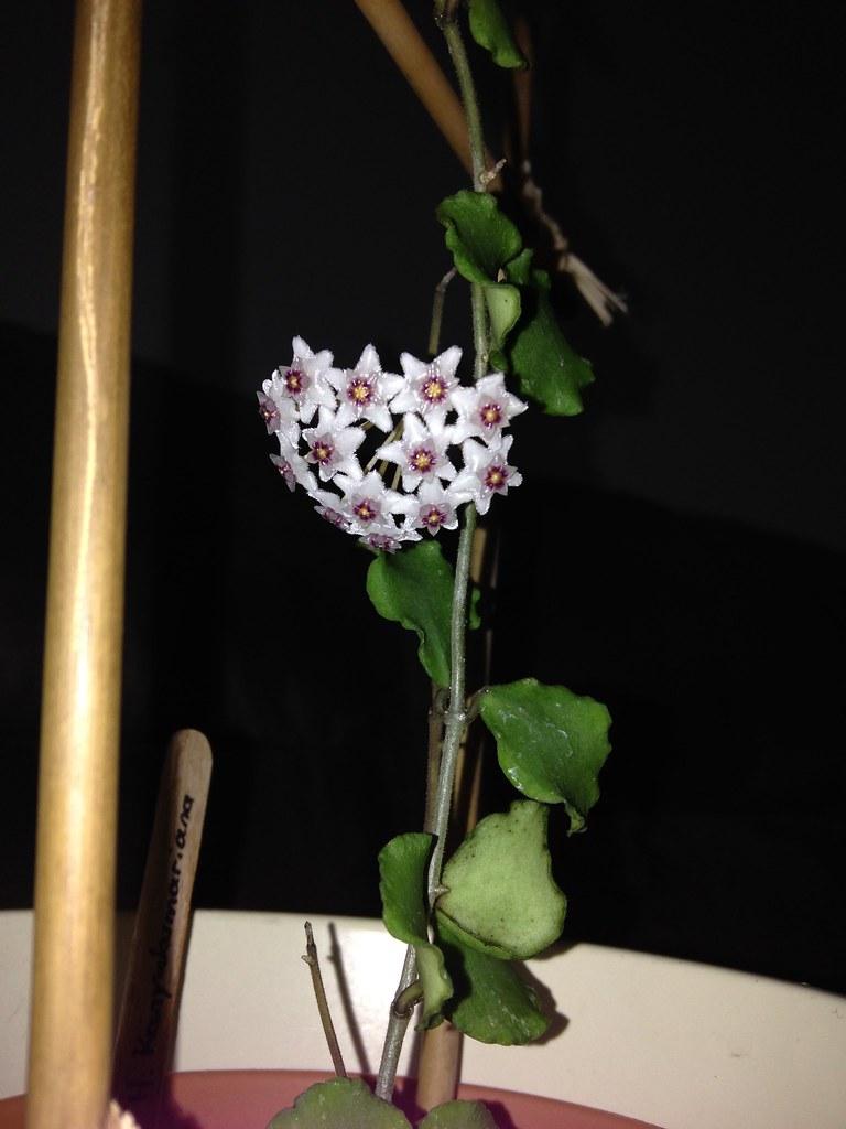 Hoya Kanyakumariana et Hoya Thomsonii 20203837696_489012cb90_b