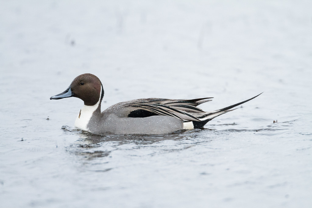 A male northern pintail swims in the rain