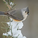 Tufted Titmouse (Baeolophus bicolor) by ER Post