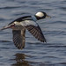 Bufflehead in flight over Shearness Pool, Bombay Hook NWR. by Inland Bay Photography