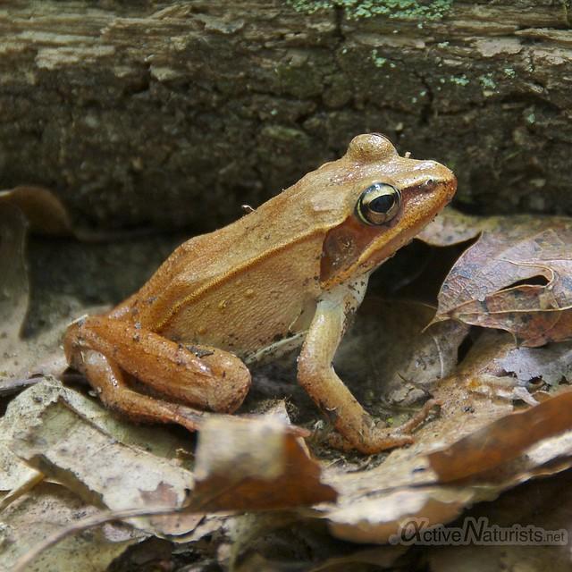 frog 0003 Harriman State Park, New York, USA