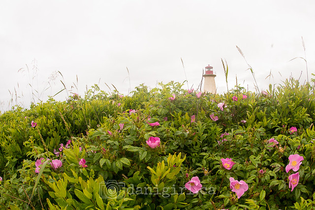 Naufrage Lighthouse through the wild roses