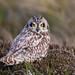 Short Eared Owl, with tufts by www.ebirder.net