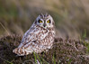 Short Eared Owl, with tufts