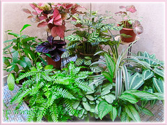 Mostly variegated foliage plants at our courtyard, July 11 2015