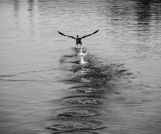 Cormorant Lake Merritt Oakland