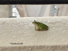 amagaeru(literally rain frog) right outside our front door