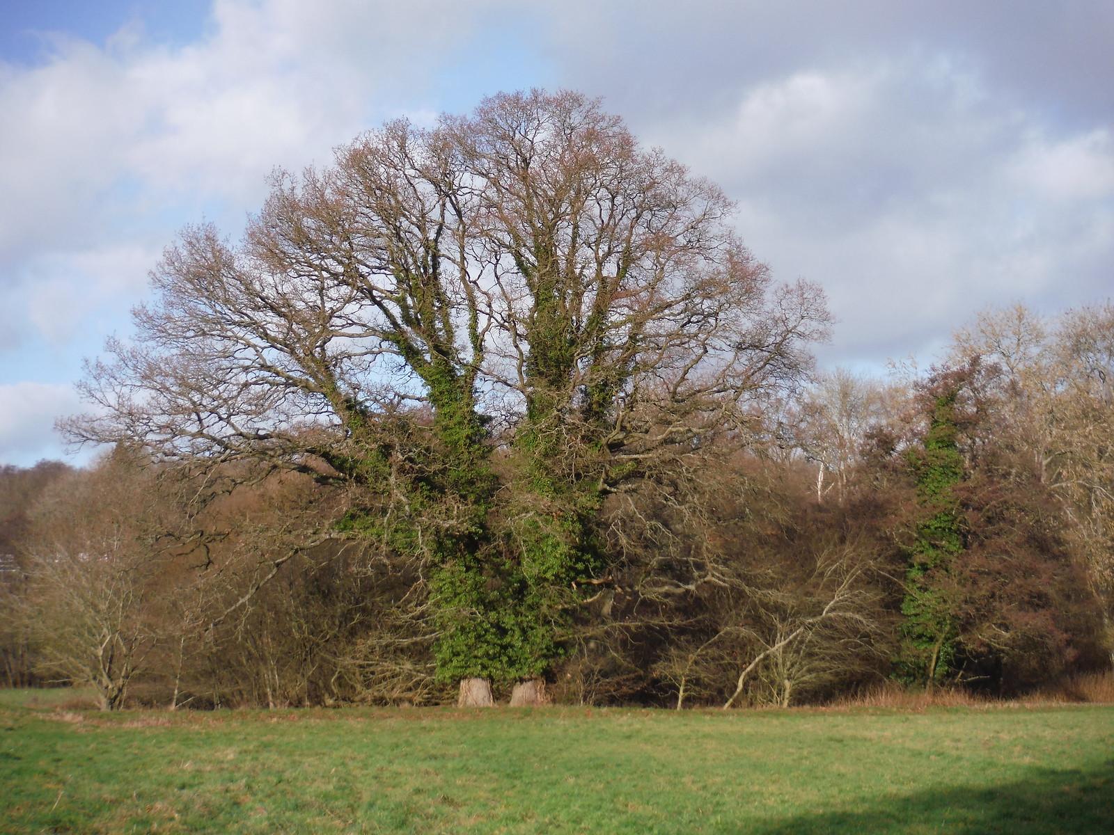 Tree across Field SWC Walk 34 Newbury Racecourse to Woolhampton (Midgham Station)