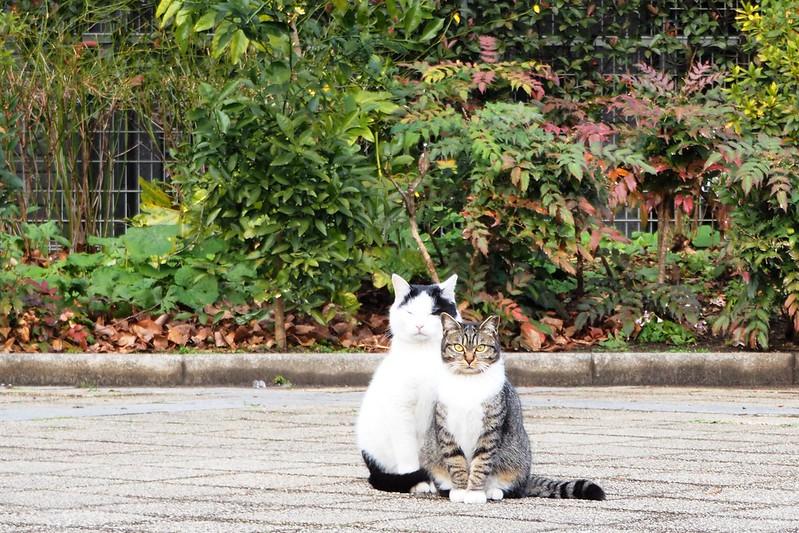 池袋カメラ散歩池袋本町ネコ歩き。壬生裏の公園の黒ブチとキジ虎の親子