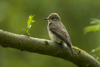 Spotted Flycatcher - Flevoland - Netherlands_5731
