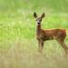 Baby Roe Deer by Alan MacKenzie