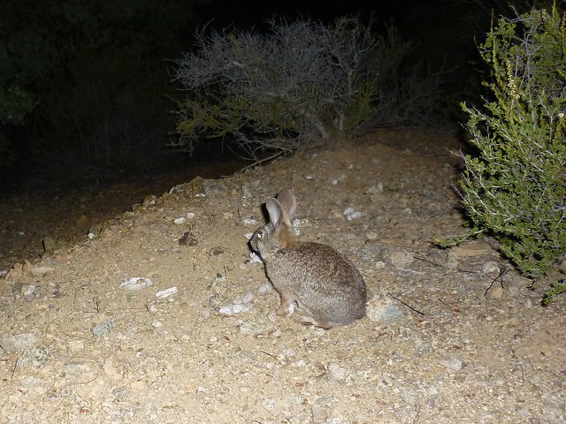 brush rabbit