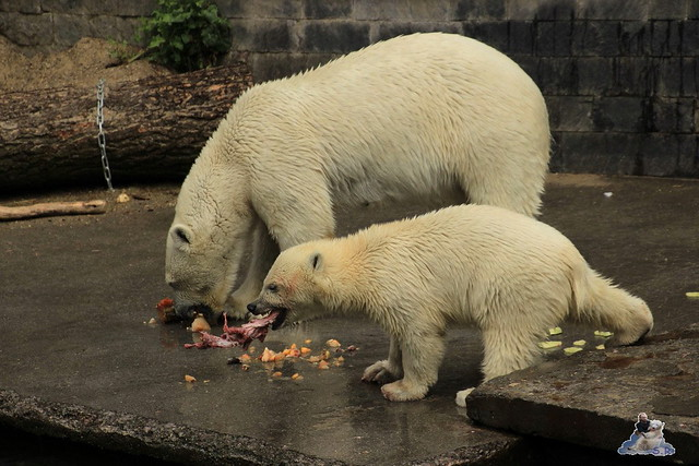 Eisbär Fiete im Zoo Rostock 12.07.2015 0188
