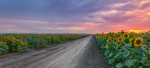 california road flowers blue red sky cloud flower green field lines northerncalifornia yellow clouds woodland landscape outside us skies purple unitedstates line foliage dirt sunflowers sunflower fields roads hdr hdrphotography