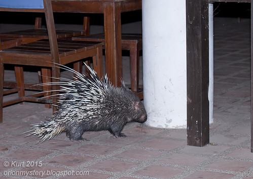 Malayan porcupine (<i>Hystrix brachyura</i>_MG_0776 copy