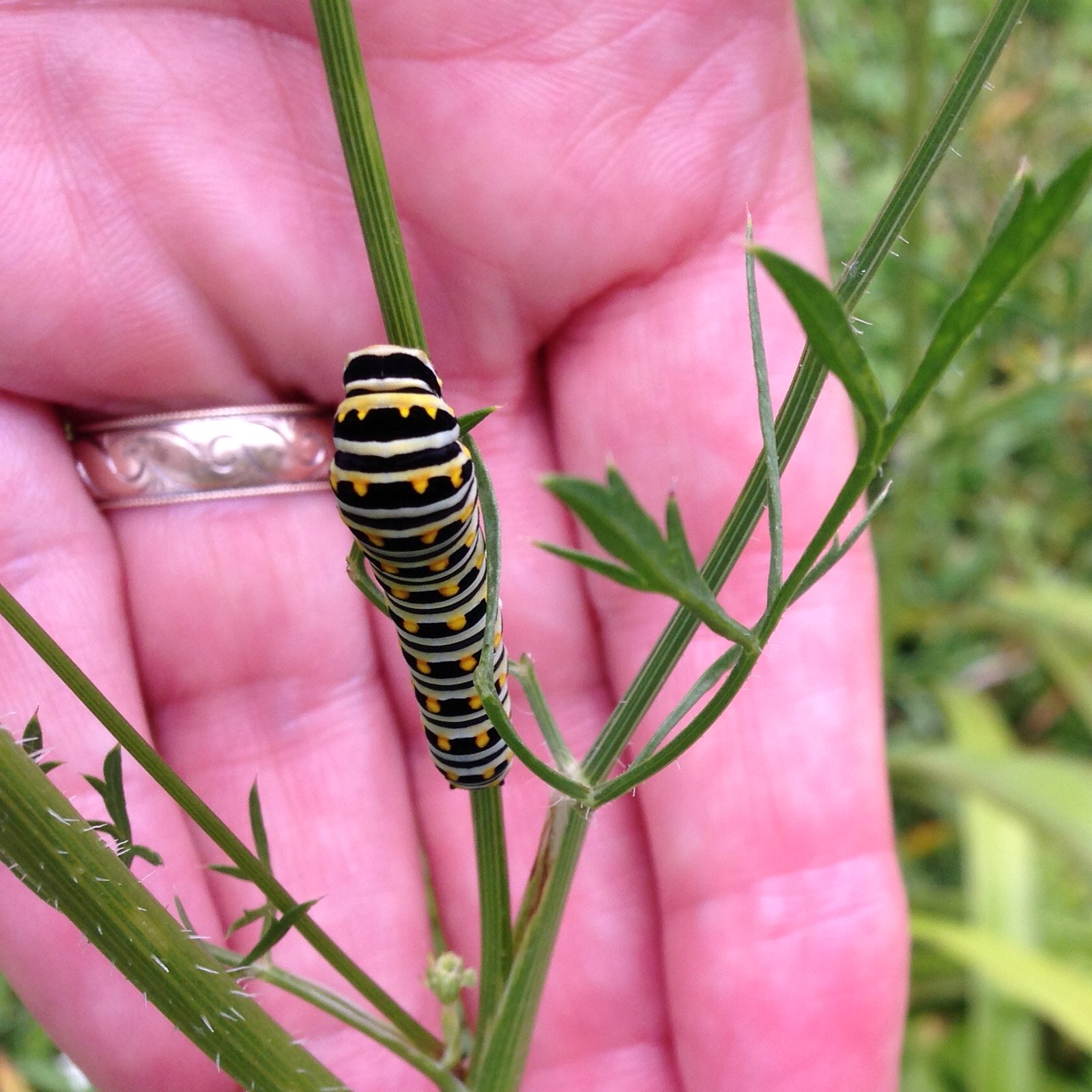 2015-08-06 Black Swallowtail caterpillar on Wild Carrot :)
