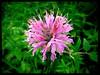 IMG_8821 Bee Balm