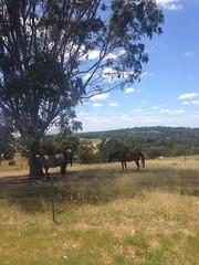Horses in Banyule Flats, Viewbank