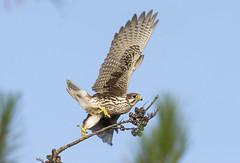 Prairie Falcon 2016