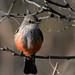 Vermillion Flycatcher por cjlloyd2078