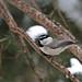 Mountain chickadee_(Peter Dunn)