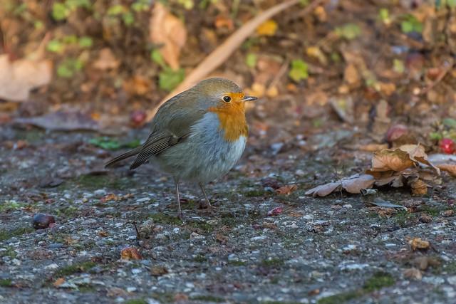 Backyard little red feather ball