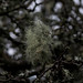 Small photo of Stringy lichen