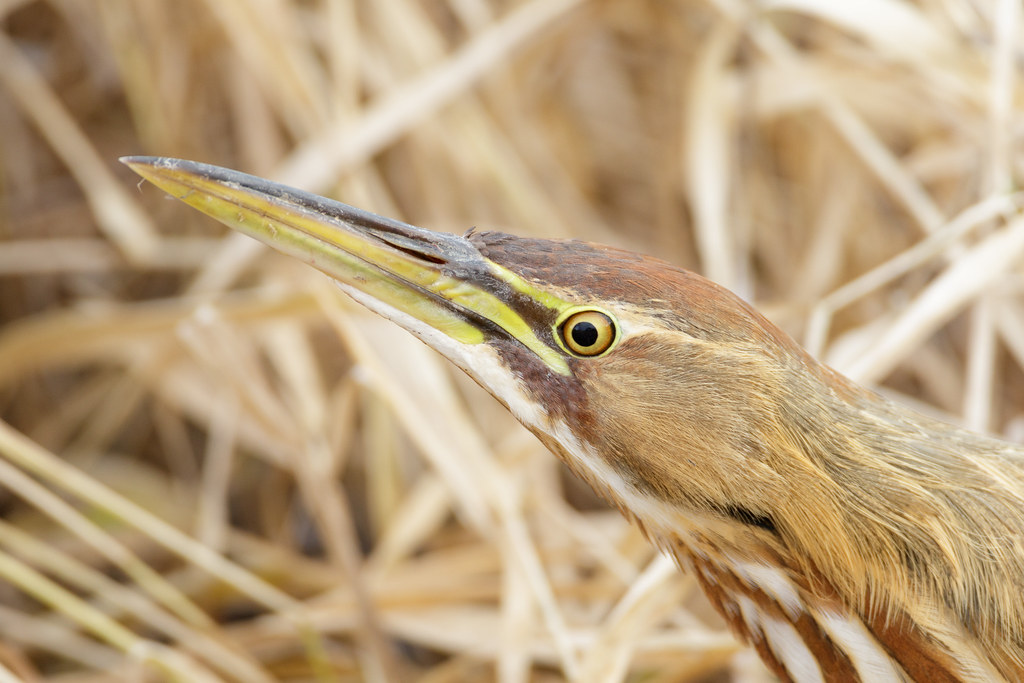 A close-up of an American bittern hunting in tall grasses