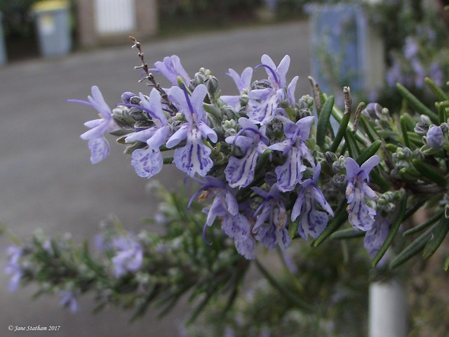 Rosemary. [Explored 13.2.17]., Fujifilm FinePix S1600