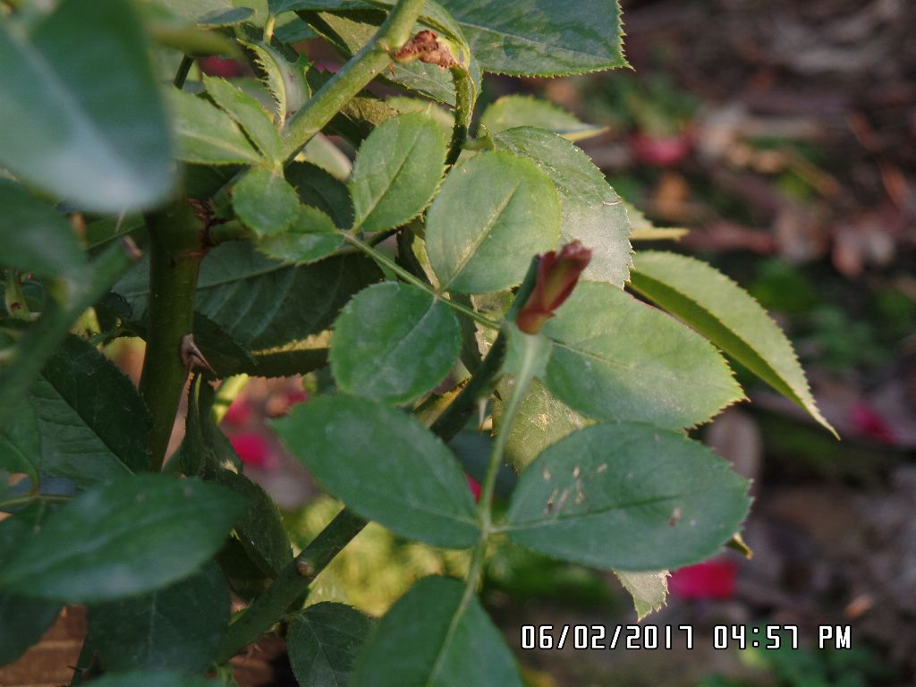Cây hoa hồng bắt đầu ra tược non sau 10 ngày cắt tỉa!