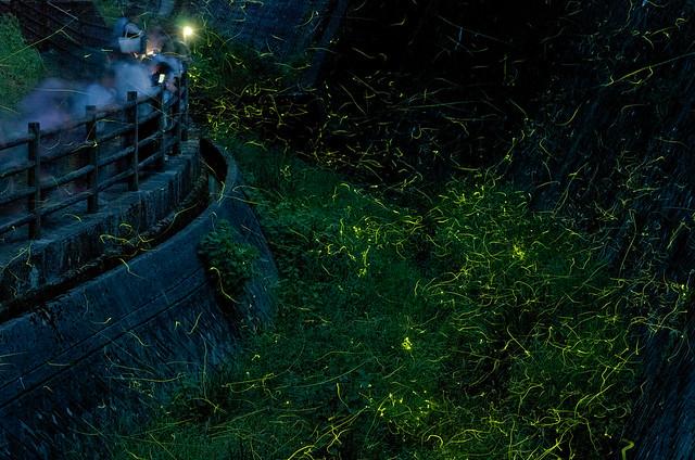 fireflies 05