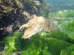 food(0.0), animal(1.0), marine biology(1.0), invertebrate(1.0), fauna(1.0), cuttlefish(1.0), underwater(1.0), wildlife(1.0),