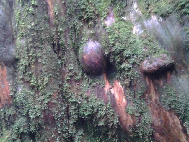 16059拉拉山巨木群