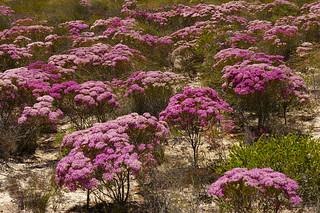 WA 077a Verticordia monadelpha, Kalbarri National Park, Western Australia