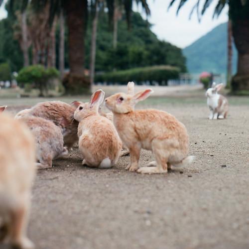 集まるウサギ