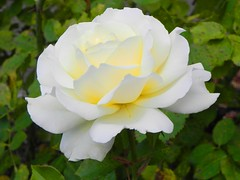 rosa pimpinellifolia(0.0), garden roses(1.0), rosa 㗠centifolia(1.0), floribunda(1.0), flower(1.0), rosa foetida(1.0), petal(1.0),