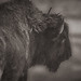 american bison by yaz62